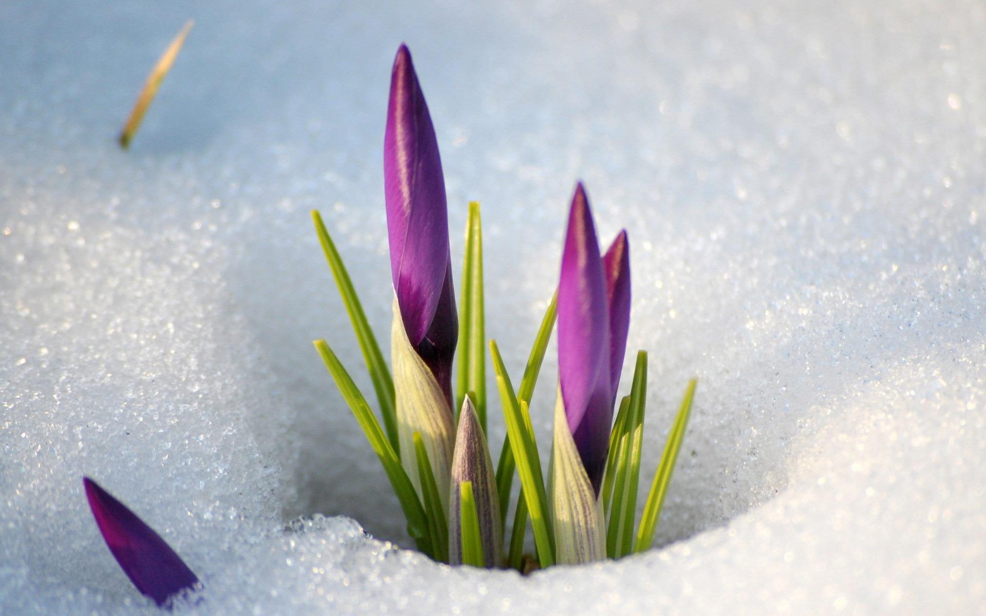 Природа пейзаж весна цветы снег