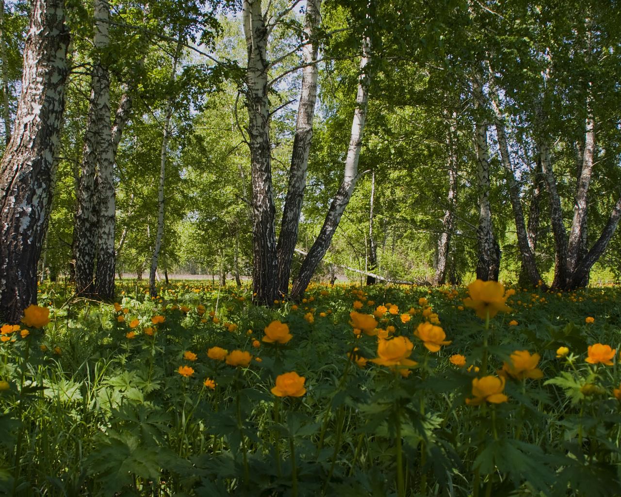 Природа пейзаж лето поляна березы