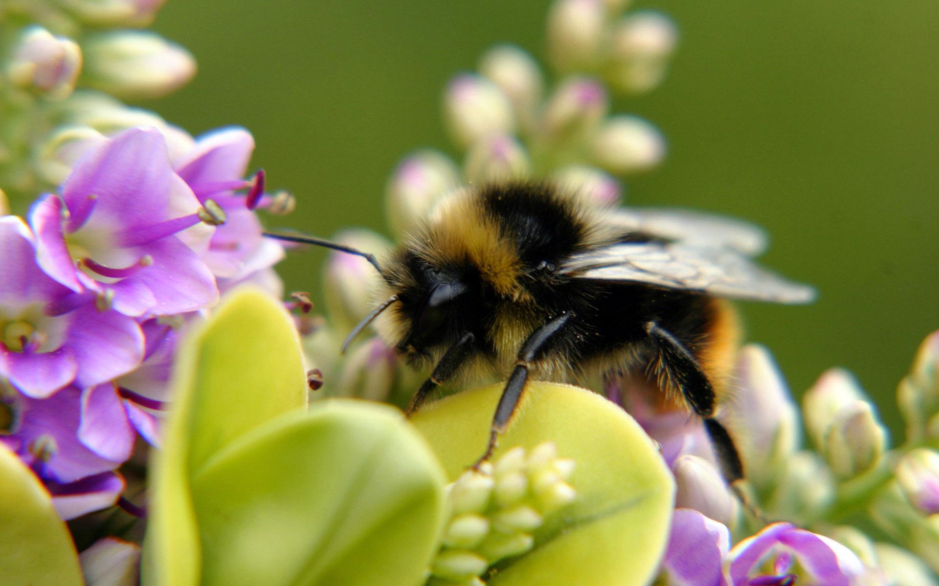 Большая пчела на цветке фото