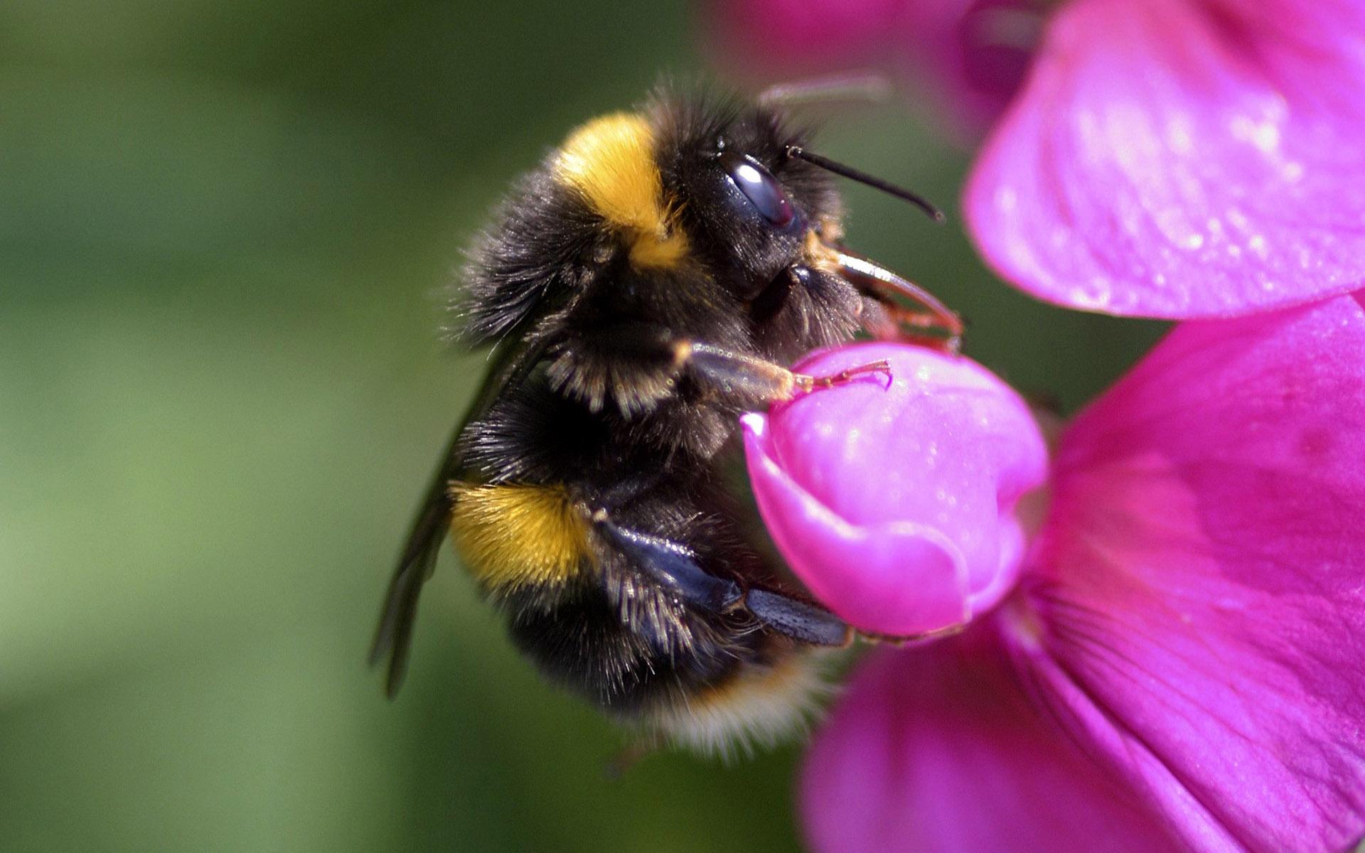 как выглядит пчела фото для детей