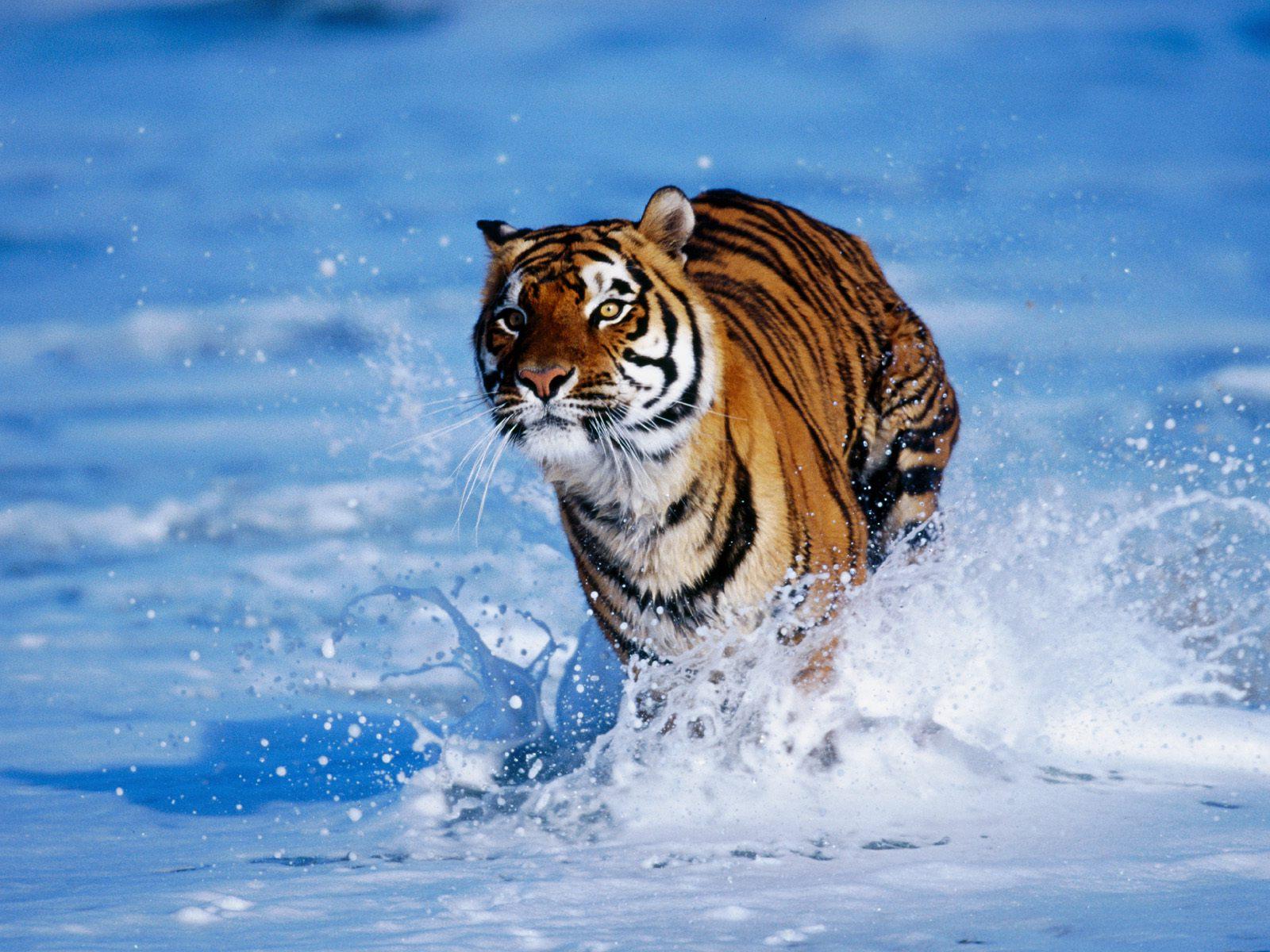 Тигр Тигры Всё о тиграх  Большие Кошки