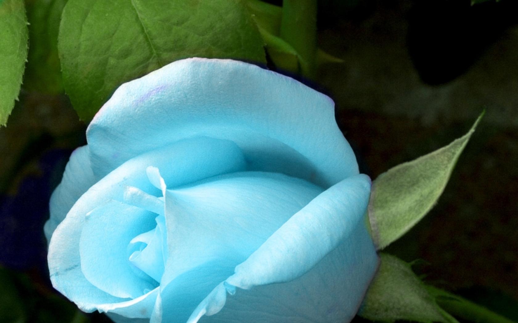Фото бело-голубые розы цветы
