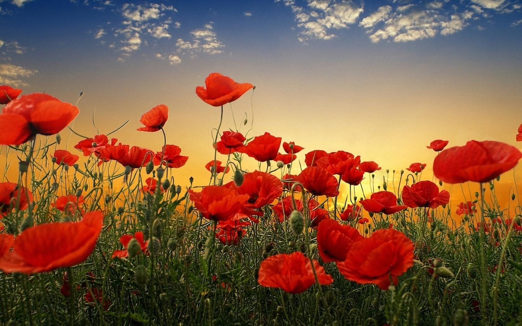 Природа пейзаж цветы маки свет трава