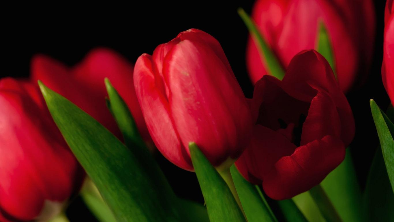 Цветы красные тюльпаны красивые
