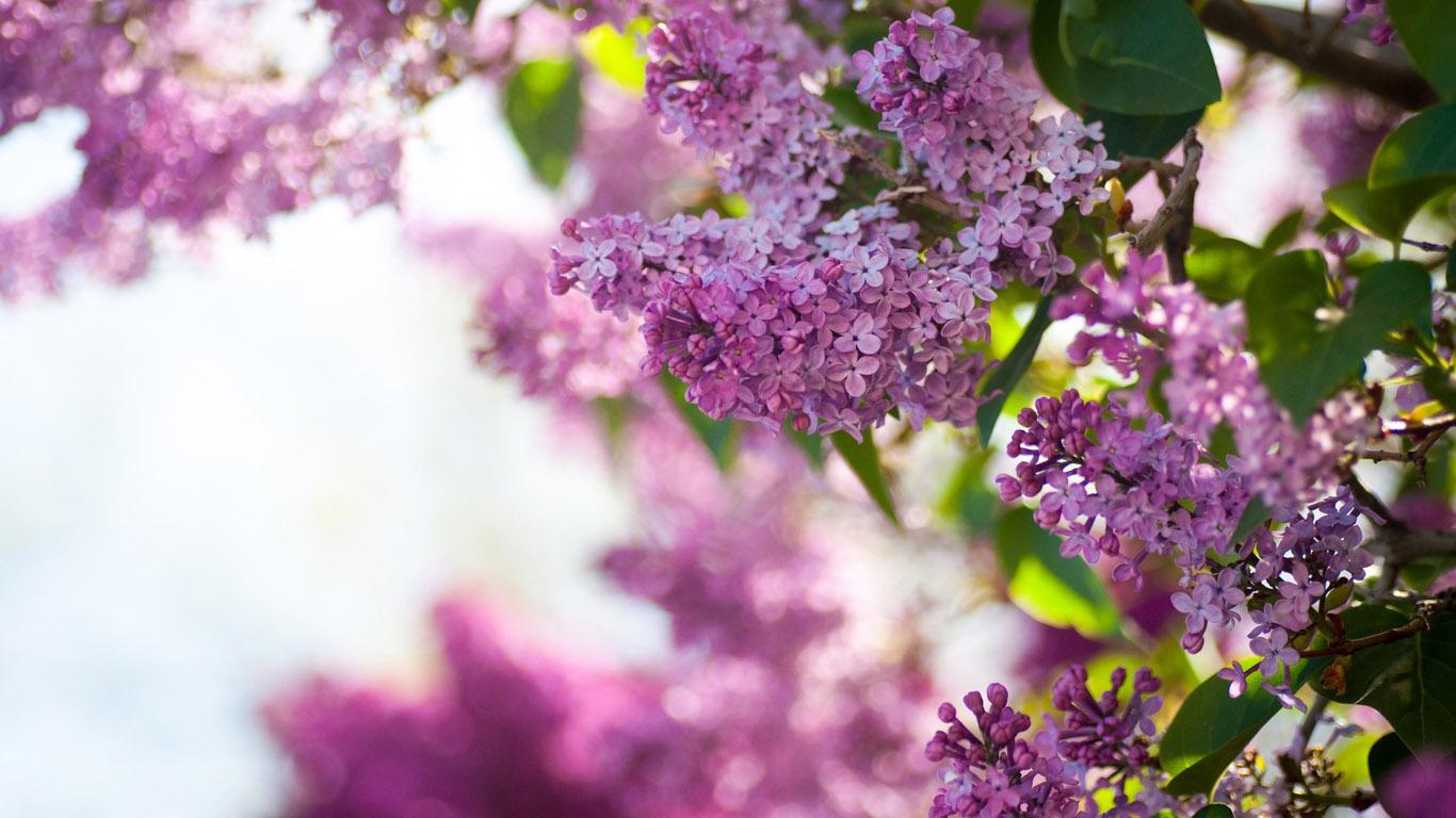 Природа пейзаж цветы сирень красивые