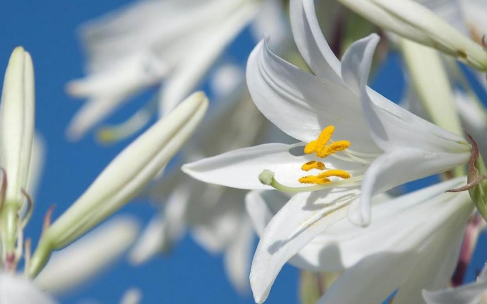 Природа пейзаж цветы цветы лилии