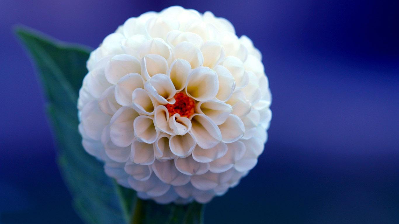 Пейзаж цветы георгина красивые обои