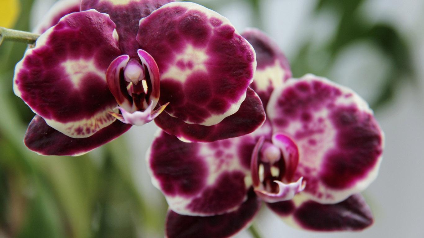Орхидеи обои на рабочий стол в высоком качестве 7