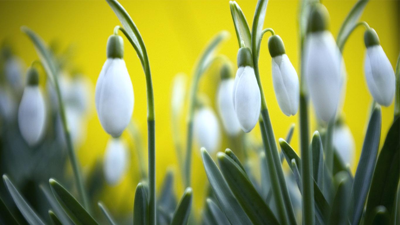 Природа пейзаж цветы подснежники